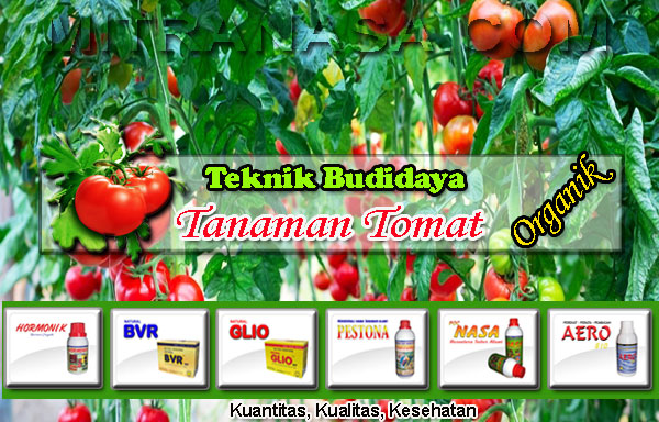 teknik-budidaya-tomat-organik
