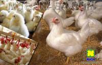 Produk Nasa Untuk Ayam Pedaging