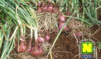 Kesaksian Budidaya Tanaman Bawang Merah