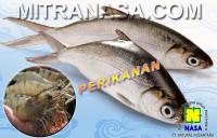 Kesaksian Budidaya Udang Ikan Bandeng