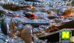 Kesaksian Budidaya Ikan Mas Dan Ikan Nila