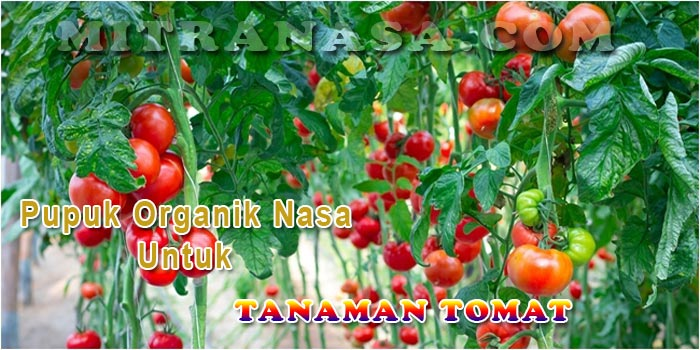 Pupuk Organik Nasa Untuk Tanaman Tomat