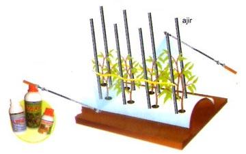 pemeliharaan tanaman cabe nasa