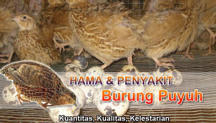 Jenis dan Gejala Penyakit Burung Puyuh