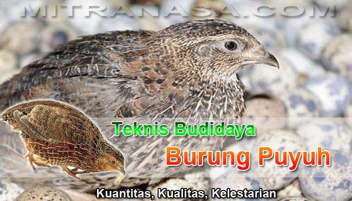 Teknis Budidaya Burung Puyuh