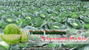 Teknis Budidaya Tanaman Kobis
