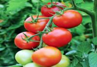 Budidaya Tanaman Tomat Teknologi Nasa
