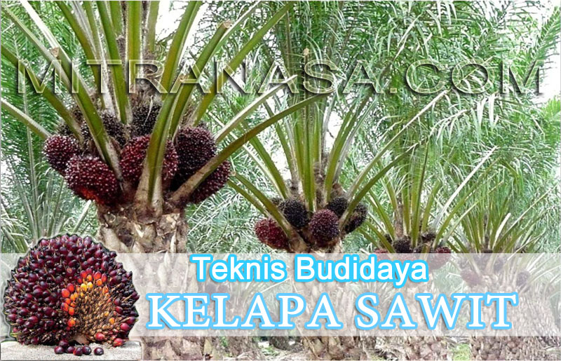 Teknik Sukses Budidaya Kelapa Sawit