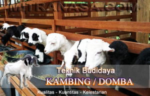 Teknik Budidaya Kambing