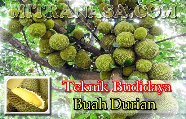 Teknik Budidaya Buah Durian Unggul