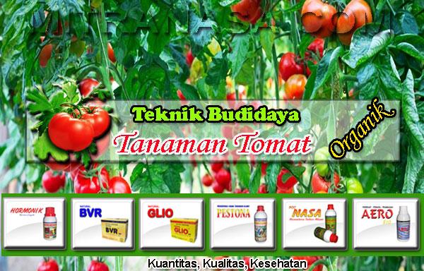 Panduan Teknis Budidaya Tomat Organik
