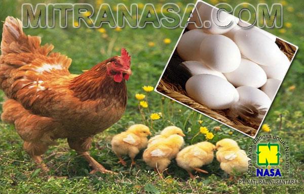 Kesaksian Budidaya Ternak Ayam Buras Kota Barru