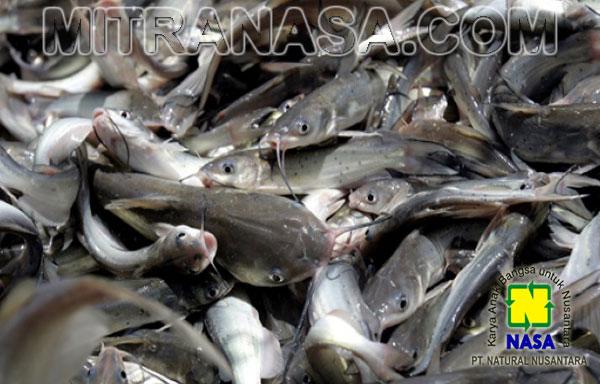 Cara Menekan Angka Kematian Budidaya Ikan Lele
