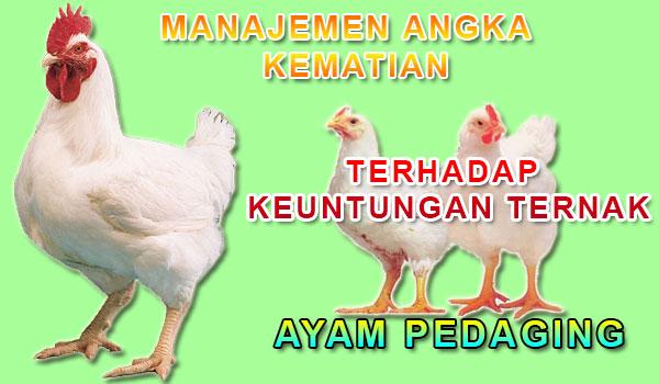 Menekan Angka Kematian Terhadap Keuntungan Ayam Pedaging