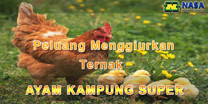 Peluang Menjanjikan Ternak Ayam Kampung Super
