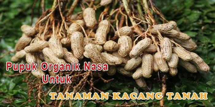 Aplikasi Pupuk Organik Nasa Untuk Tanaman Kacang Tanah