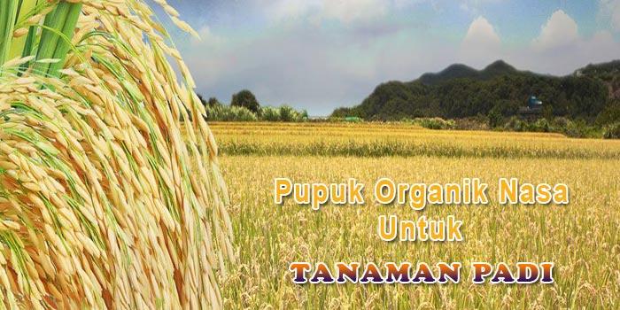 Aplikasi Pupuk Organik Nasa Untuk Tanaman Padi