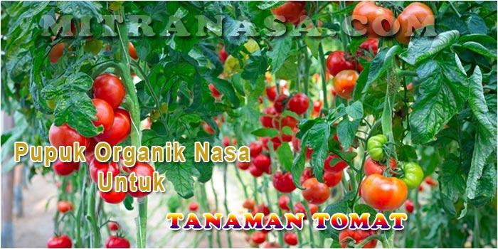 Aplikasi Pupuk Organik Nasa untuk Tanaman Tomat