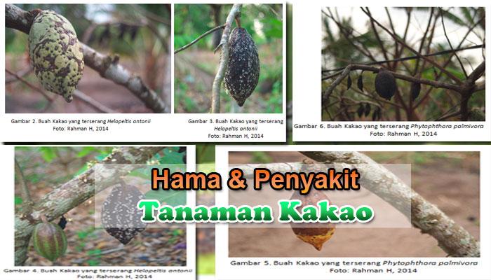 Pengendalian Hama dan Penyakit Tanaman Kakao