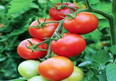 Budidaya Tanaman Tomat Menggunakan Produk NASA (Kerinci)