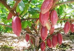 Budidaya Tanaman Kakao dengan Pupuk Organik NASA (Lampung)